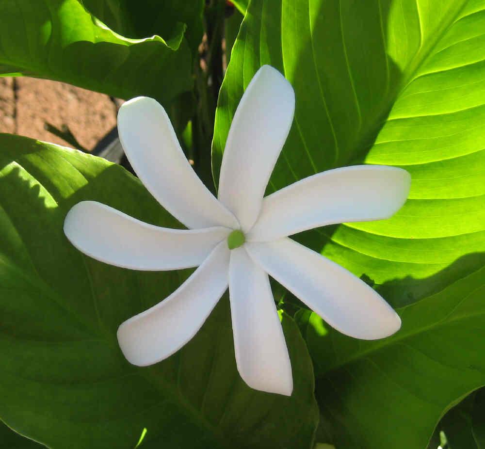 """pinwheel tiare"" (tahitian gardenia)"