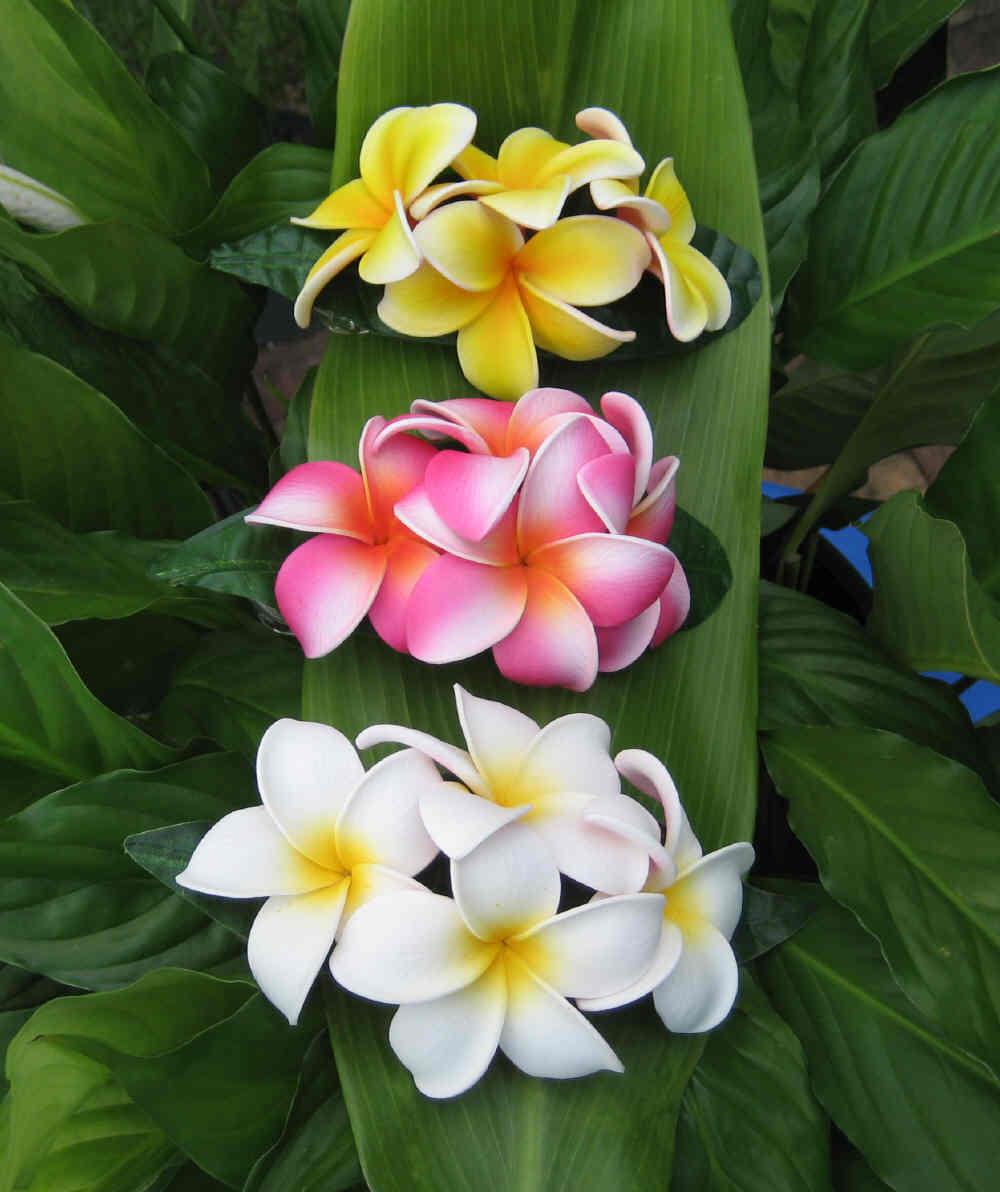 """aloha plumeria clip"""